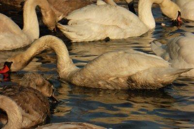 ВБалтийске установлен источник разлива нефтепродуктов, из-за которого погибли около 30 лебедей
